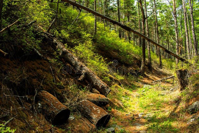 Валить дерево Валить дерево лежа в расчистке в древесинах стоковое изображение rf