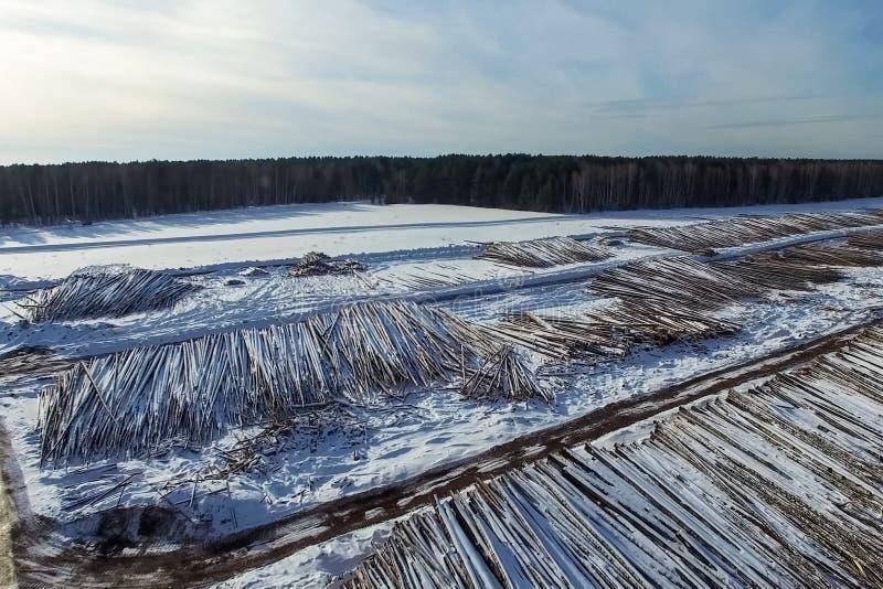 Валить деревья лежат под открытым небом Обезлесение в России Разрушение лесов в Сибире Сбор древесины стоковое фото rf