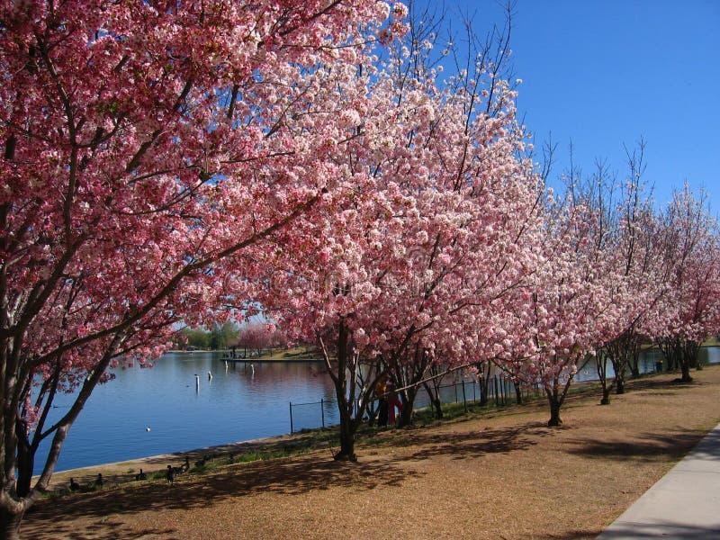 валы вишни цветения стоковое фото rf
