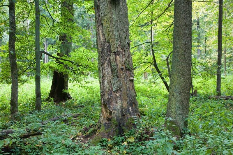 валы мертвого зеленого дуба старые стоковое изображение