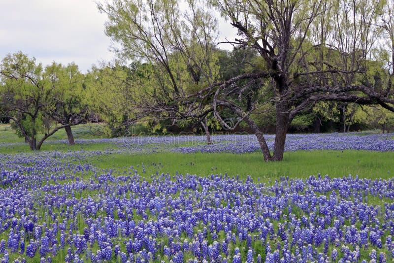 валы травы bluebonnets стоковое изображение rf