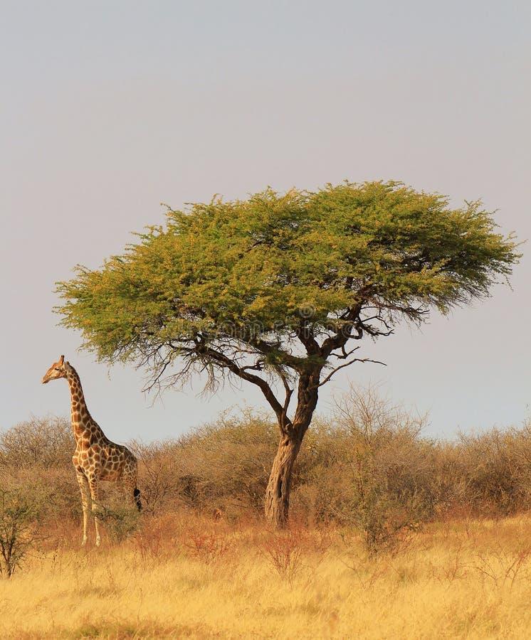Валы Giraffe и Camethorn - африканская королевская власть стоковое изображение rf
