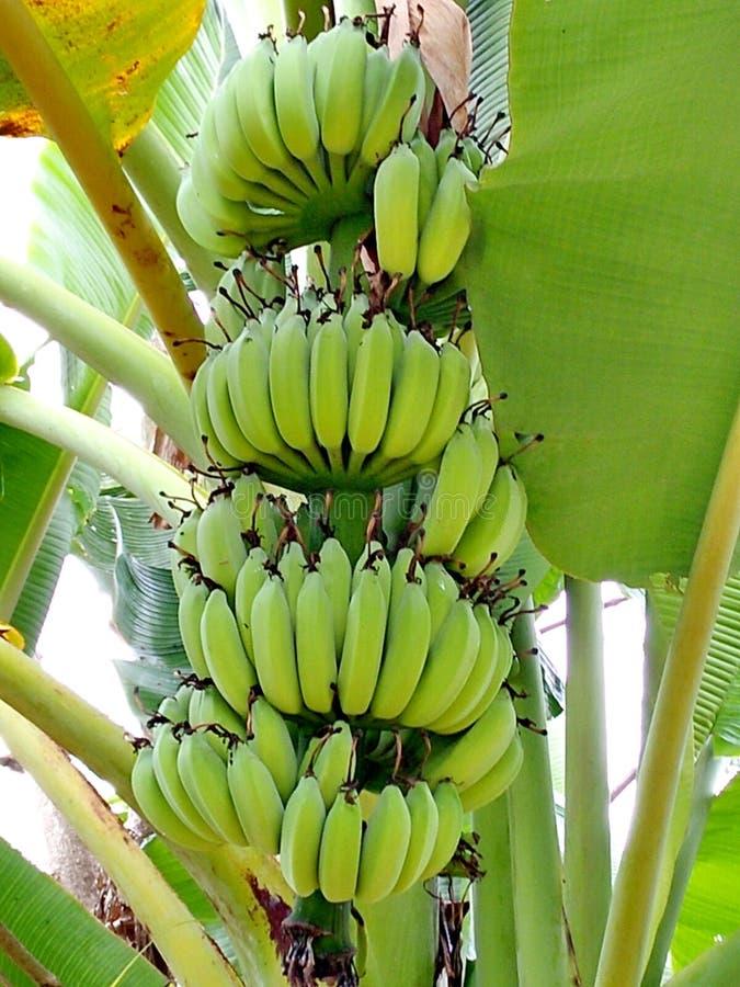 вал бананов зеленый стоковое фото rf