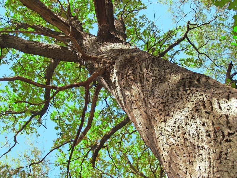 вал большого дуба старый стоковое изображение rf