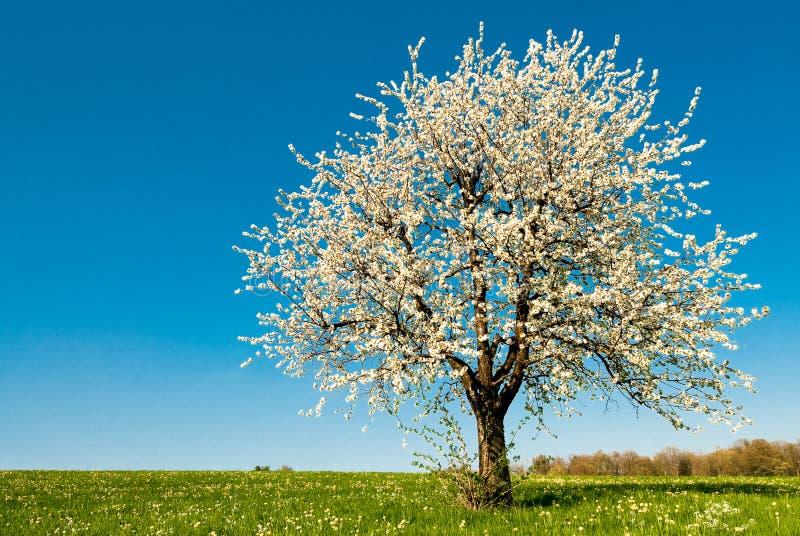 вал весны вишни стоковые изображения rf