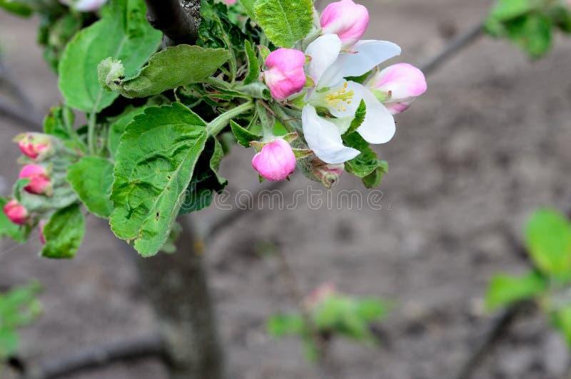 вал весны яблока зацветая стоковые фотографии rf