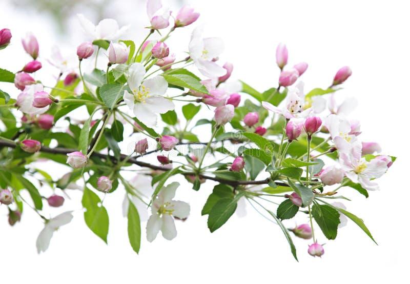 вал ветви яблока зацветая стоковое фото rf