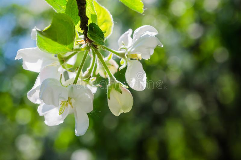 вал ветви яблока blossoming стоковое фото rf