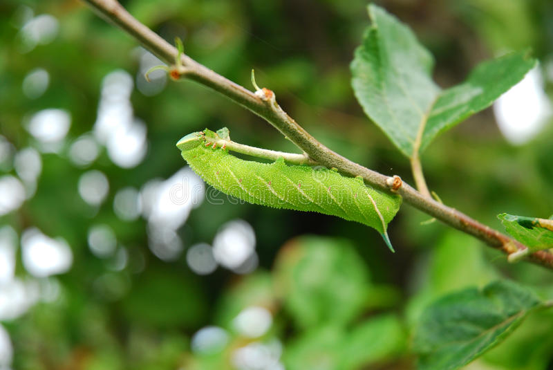 вал ветви яблока catepillar зеленый стоковое фото