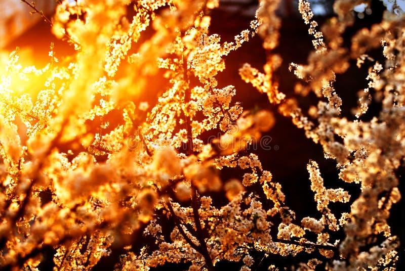 вал вишни цветений стоковые изображения rf
