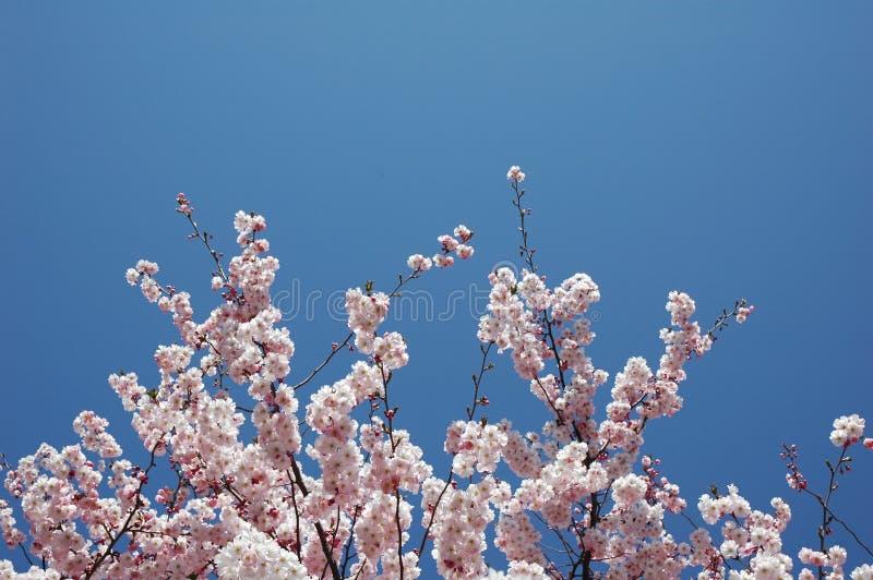 вал вишни цветения стоковое фото