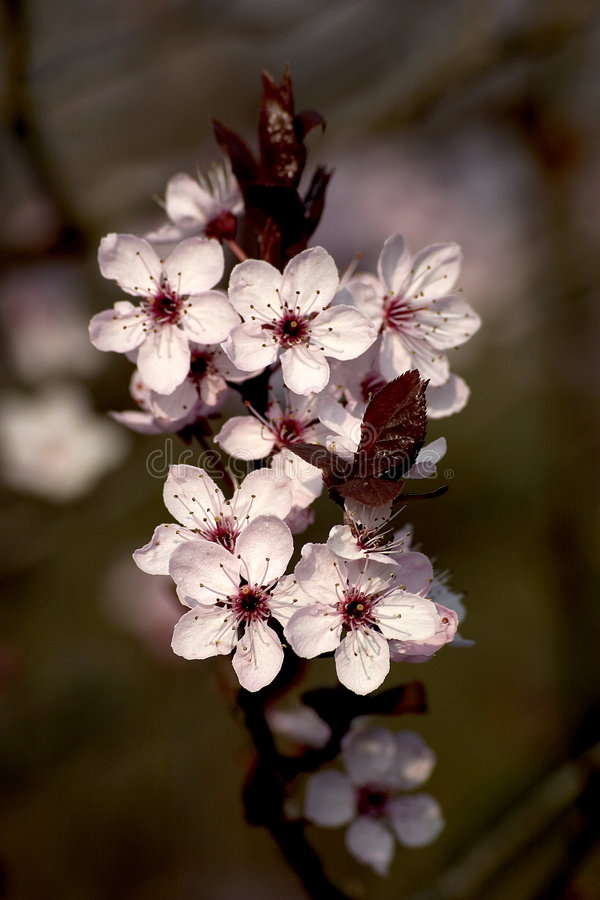 вал вишни цветя стоковая фотография rf