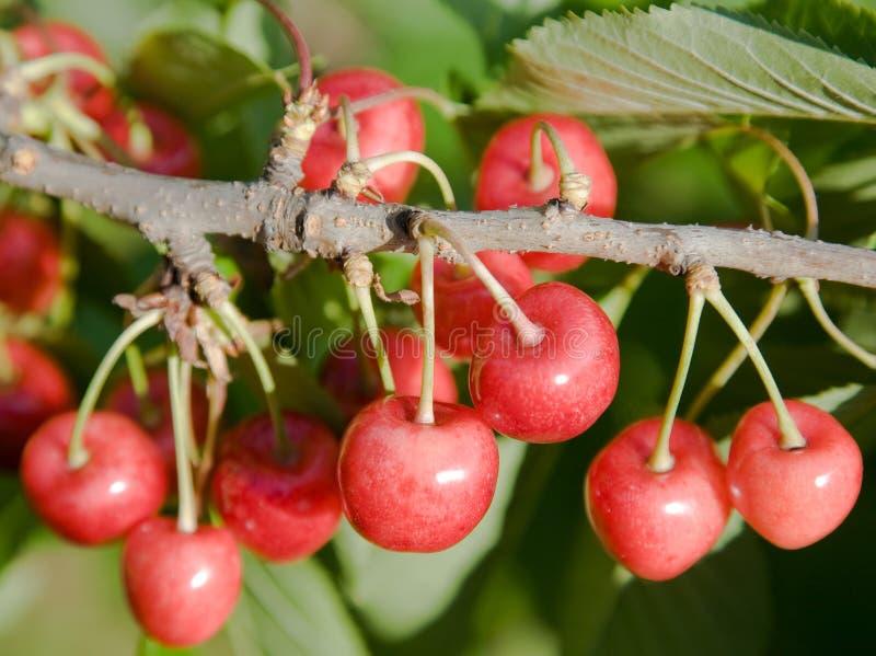 вал вишни стоковое изображение rf