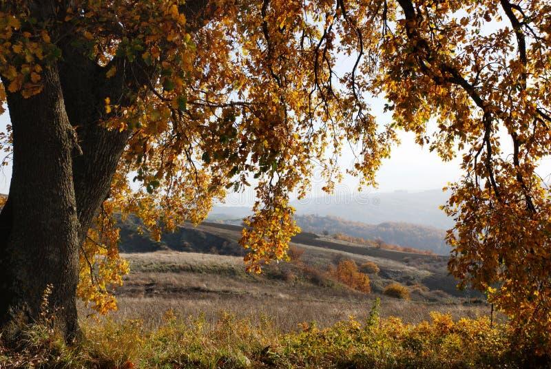 вал дуба осени большой стоковое фото