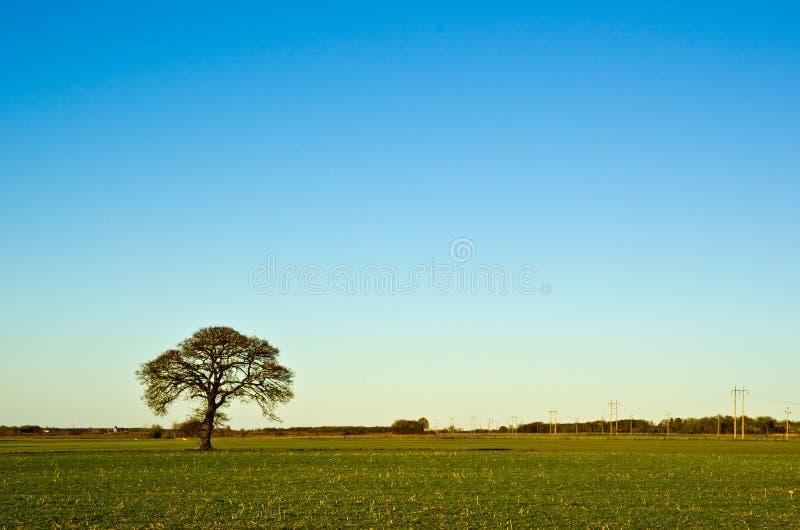 Вал дуба Solitaire стоковое изображение rf