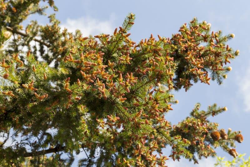 вал ели ветви близкий вверх стоковое фото rf