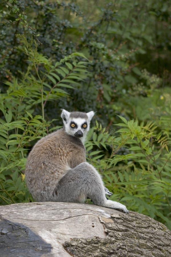 вал кольца lemur сидя замкнутый пнем стоковое фото