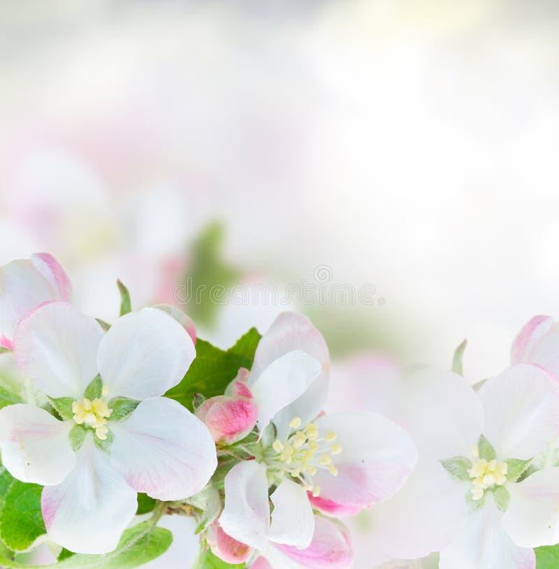 вал конца цветения яблока вверх стоковое изображение
