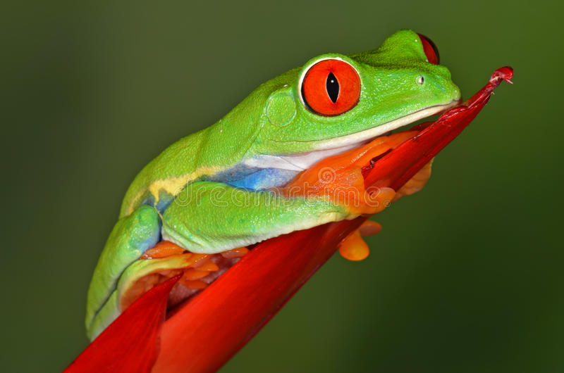 вал красного цвета лягушки глаза стоковое изображение rf