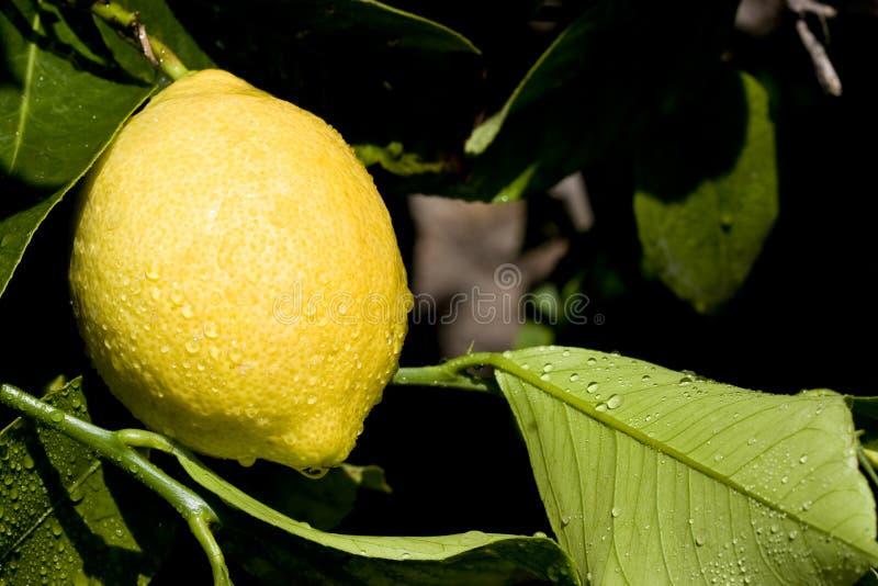 вал лимона стоковые фотографии rf