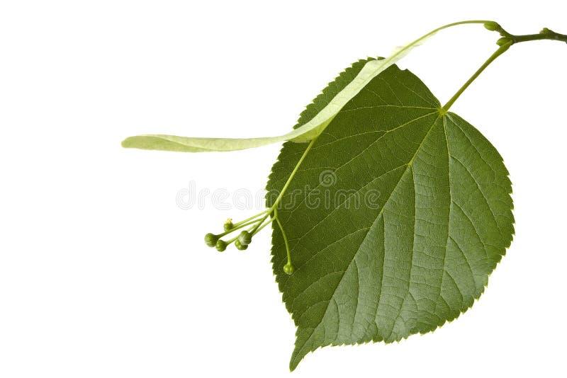 вал липы листьев стоковое фото rf