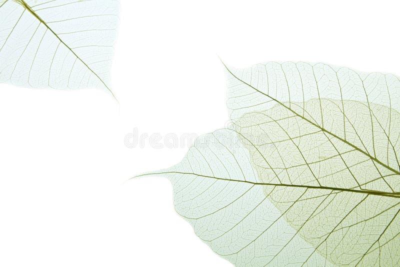 вал листьев резиновый стоковые фото
