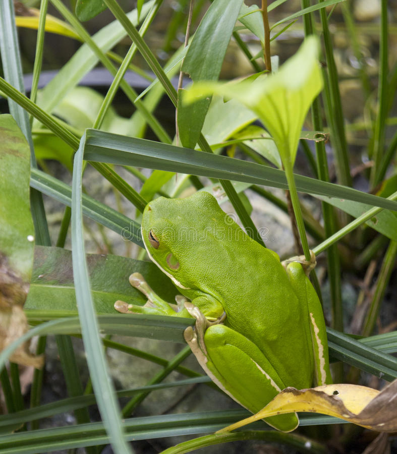 вал порта листьев зеленого цвета лягушки douglas стоковые изображения rf