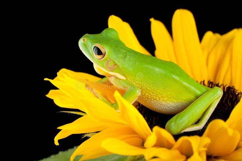 вал солнцецвета лягушки сидя стоковое изображение rf