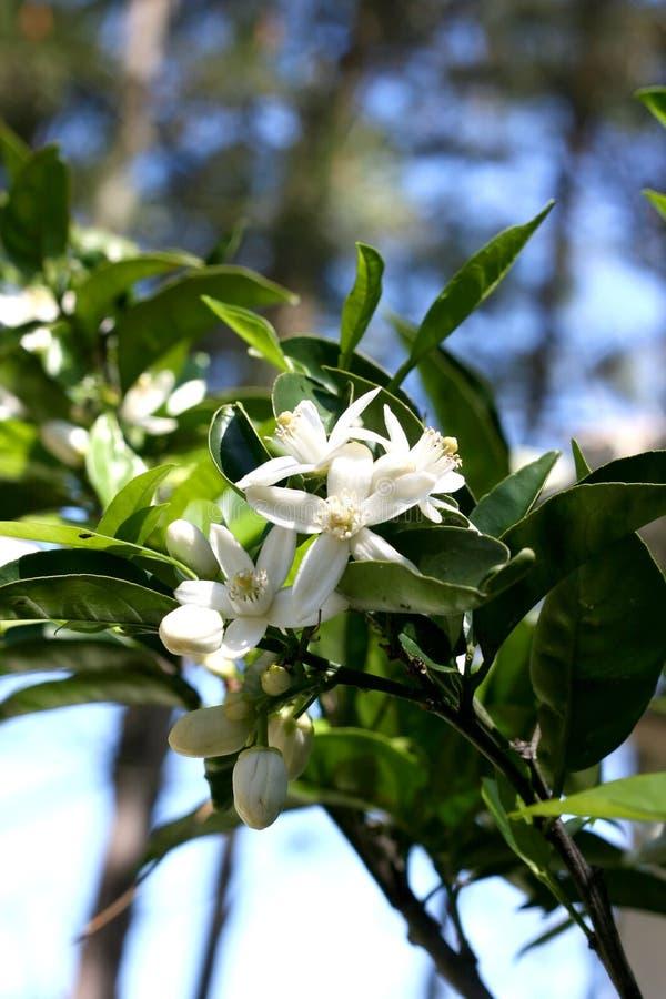 вал цветения померанцовый стоковые фотографии rf