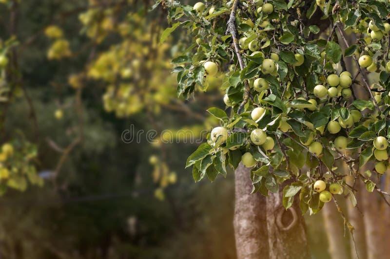 вал яблок яблока зеленый стоковая фотография rf