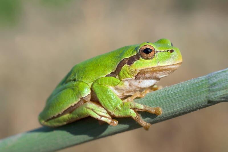 вал hyla зеленого цвета лягушки arborea стоковое изображение rf