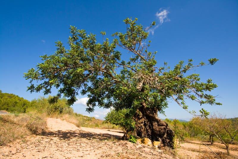 вал ibiza carob стоковое изображение