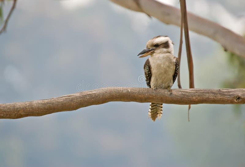 вал kookaburra птицы стоковое фото