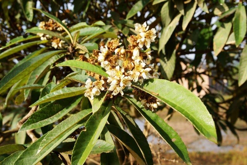 вал loquat цветка стоковое изображение