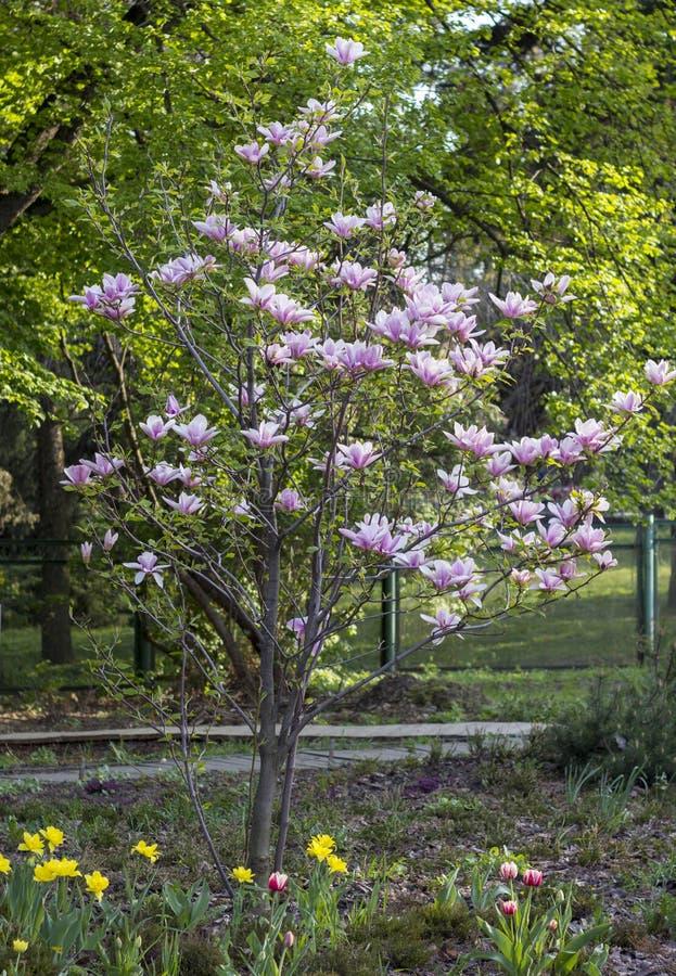 вал magnolia цветеня Много цветков предложения стоковая фотография rf