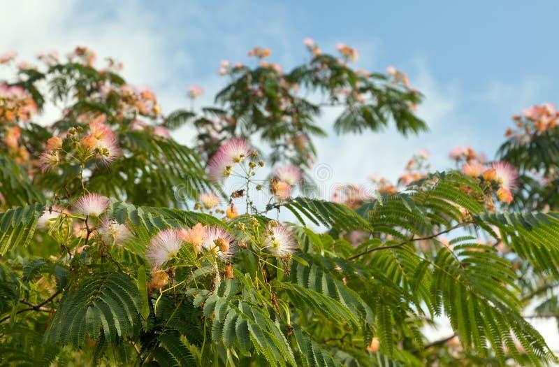 вал mimosa стоковое изображение