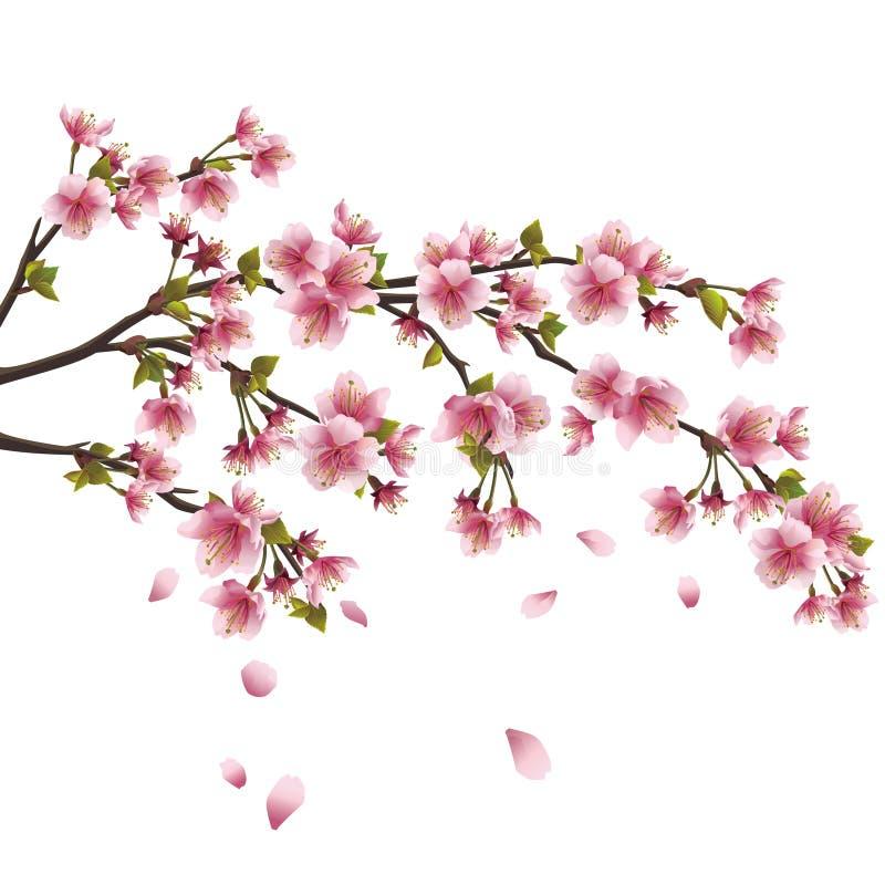 вал sakura цветения изолированный вишней японский иллюстрация вектора