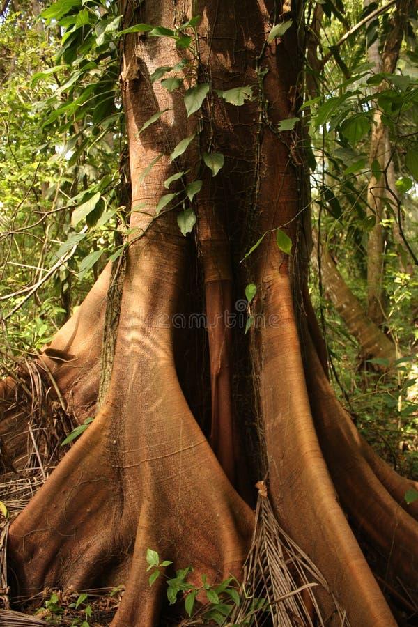 вал tayrona национального парка ceiba тропический стоковая фотография