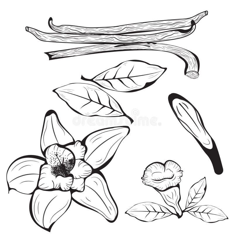 Ванильный цветок с ручкой и лист бесплатная иллюстрация
