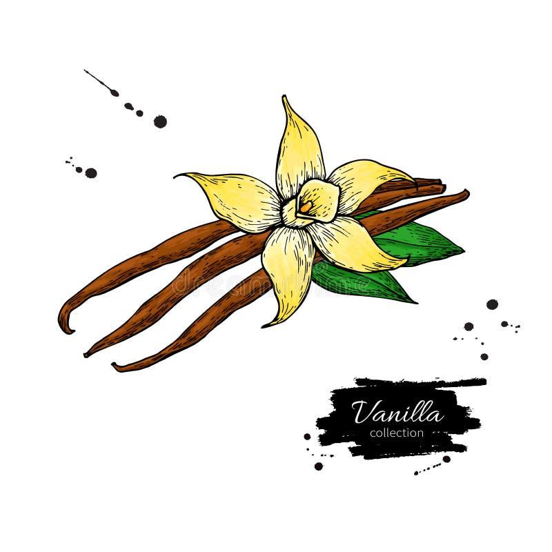 Ванильный чертеж вектора ручки цветка и фасоли Нарисованная рукой иллюстрация еды эскиза бесплатная иллюстрация