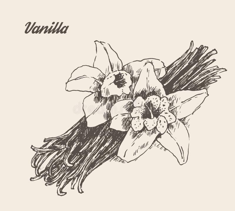 Ванильные стручки и вектор цветка выгравированный годом сбора винограда бесплатная иллюстрация