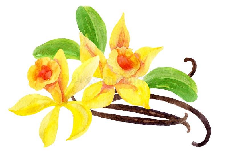Ванильные цветки и стручки иллюстрация штока