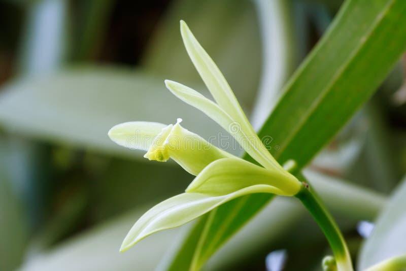 Ванильный цветок стоковые изображения rf