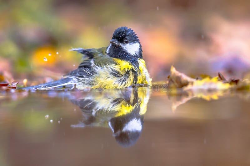 Ванна осени синицы птицы сада большая стоковая фотография