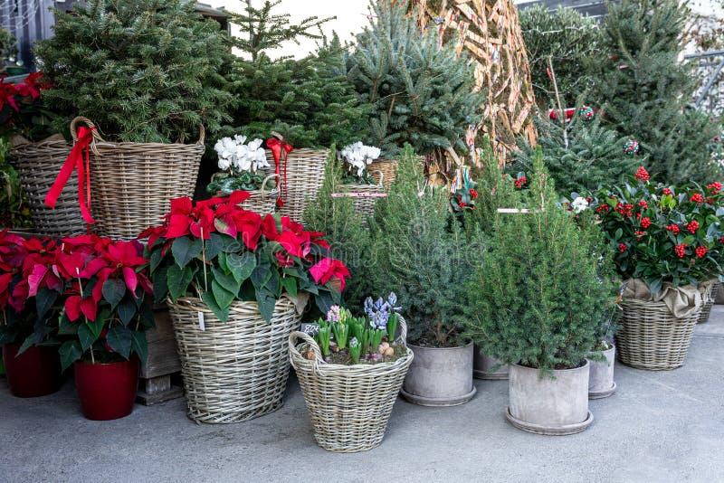 вариация зимнего растения декорации для домашнего сада, такие как пица в горшочках, разные рождественские деревья в корзинах, иле стоковая фотография