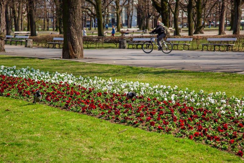 Варшава, Польша - 3-ье апреля 2019: Красивый Saxon сад, парк с красными, голубыми и белыми цветками стоковая фотография rf