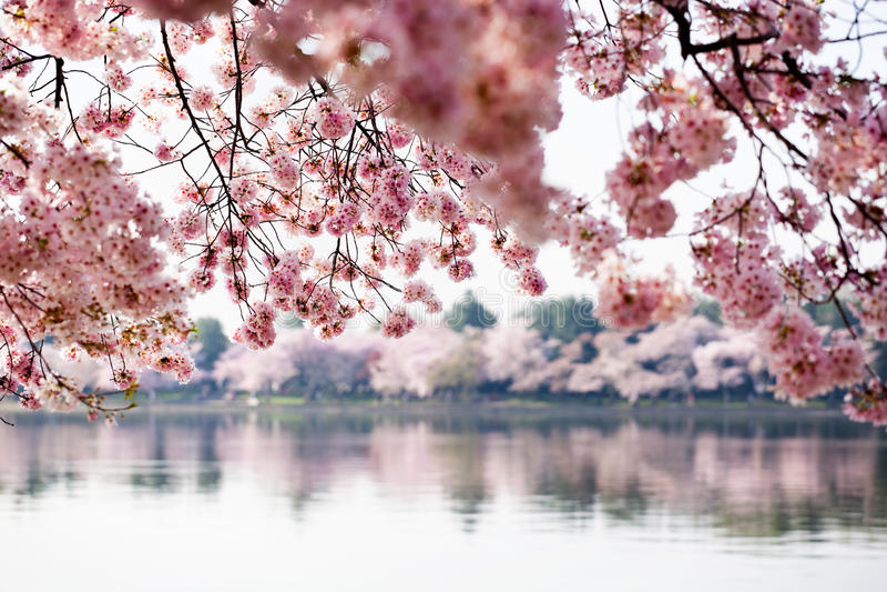 вашингтон валов dc вишни цветения стоковое фото rf