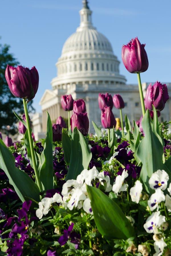 вашингтон тюльпанов dc стоковое фото rf