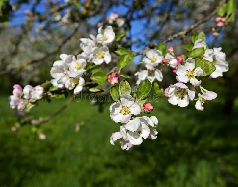 Download вал весны ветви цветений цветеня яблока Стоковое Фото - изображение насчитывающей валы, цветки: 40579374