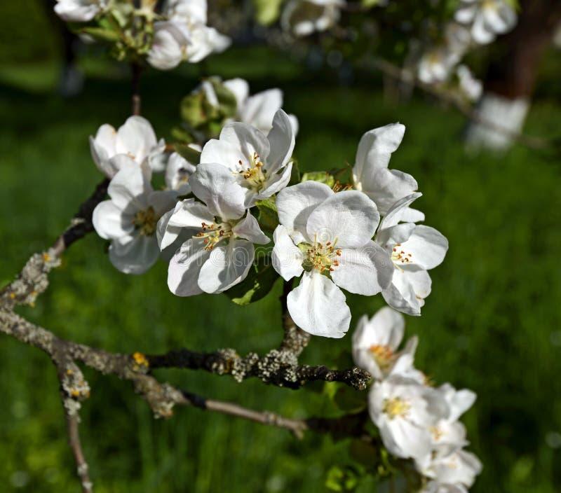 Download вал весны ветви цветений цветеня яблока Стоковое Изображение - изображение насчитывающей вал, природа: 40579397